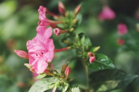 Flower II, Minolta X-700